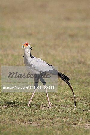 Secretarybird (Sagittarius serpentarius), Lake Nakuru National Park, Kenya, East Africa, Africa