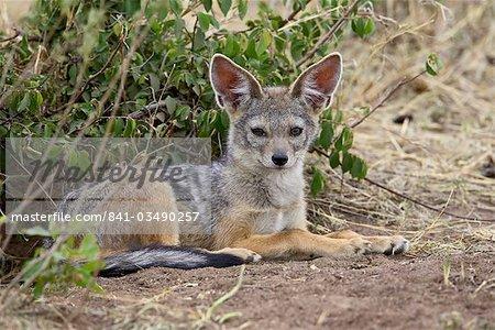 Young black-backed jackal or silver-backed jackal (Canis mesomelas), Masai Mara National Reserve, Kenya, East Africa, Africa