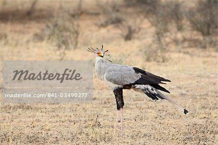 Secretarybird (Sagittarius serpentarius), Kgalagadi Transfrontier Park, encompassing the former Kalahari Gemsbok National Park, South Africa, Africa