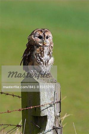 Tawny owl (Strix aluco), captive, perched, United Kingdom, Europe