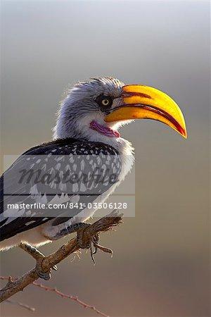 Male Eastern yellow-billed hornbill (Tockus flavirostris), Samburu National Reserve, Kenya, East Africa, Africa
