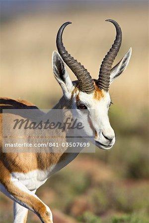 Male springbok (Antidorcas marsupialis), Mountain Zebra National Park, South Africa, Africa