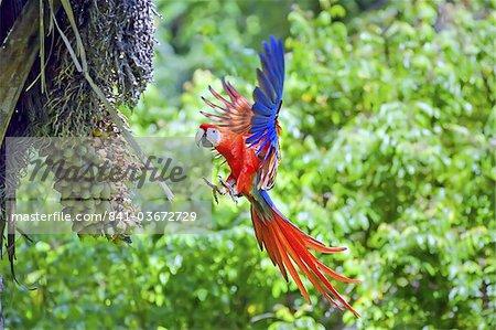 Scarlet Macaws (Ara macao) in flight, Corcovado National Park, Osa Peninsula, Costa Rica, Central America