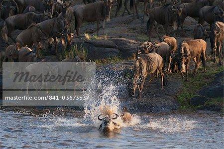Wildebeest crossing Mara River during annual migration, Masai Mara, Kenya, East Africa, Africa