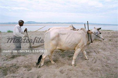 Farmer ploughing field, Bagan (Pagan), Mandalay Division, Myanmar (Burma), Asia