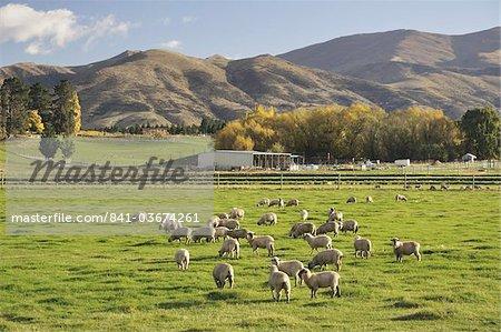 Sheep on farmland, near Tarras, Otago, South Island, New Zealand, Pacific
