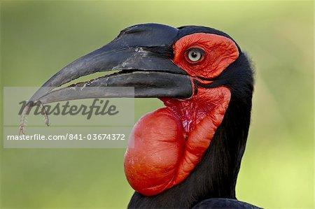 Southern Ground-Hornbill (Ground Hornbill) (Bucorvus leadbeateri), Kruger National Park, South Africa, Africa