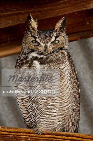 Great horned owl (Bubo virginianus), Whitewater Draw Wildlife Area, Arizona, United States of America, North America