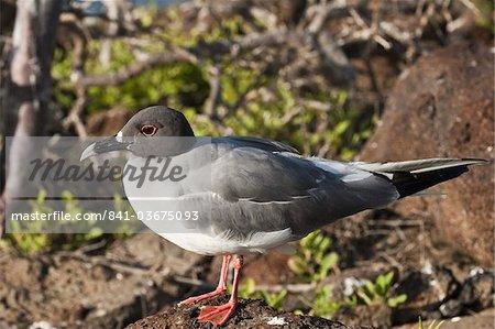Swallow-tailed Gull (Creagrus furcatus), North Seymour Island, Galapagos Islands, Ecuador, South America