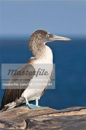 Blue footed booby (Sula nebouxii), Isla Lobos off Isla San Cristobal (San Cristobal Island), Islas Plaza (Plaza island), Galapagos Islands, UNESCO World Heritage Site, Ecuador, South America