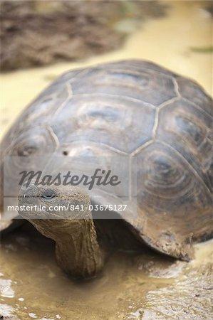 Giant tortoise (Geochelone nigra) at the Galapaguera de Cerro Colorado, tortoise breeding center, Isla San Cristobal (San Cristobal Island), Galapagos Islands, UNESCO World Heritage Site, Ecuador, South America