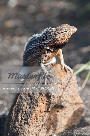 Lava lizard (Microlophus albemarlensis), Port Egas (James Bay), Isla Santiago (Santiago Island), Galapagos Islands, UNESCO World Heritage Site, Ecuador, South America