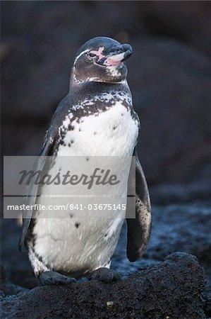 Galapagos penguin (Spheniscus mendiculus), Galapagos Islands, UNESCO World Heritage Site, Ecuador, South America