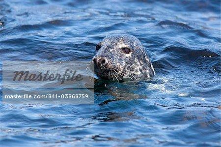 Grey seal (Halichoerus grypus), Farne Islands, Seahouses, Northumberland, England, United Kingdom, Europe