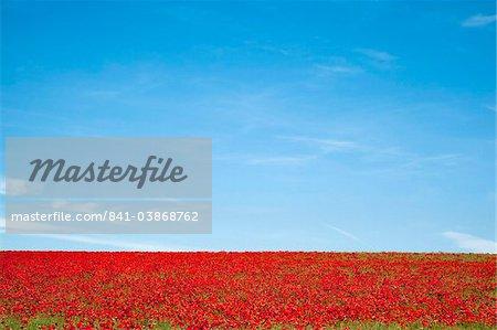 Field of poppies (Papaver hoeas), near Barrasford, Northumberland, England, United Kingdom, Europe