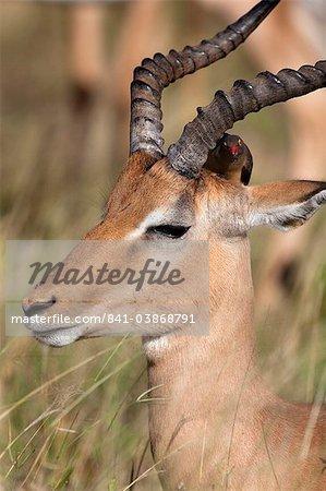 Impala ram (Aepyceros melampus), with redbilled oxpecker, Kruger National Park, South Africa, Africa