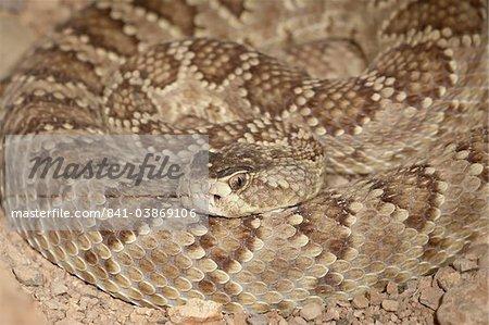 Western diamond-back rattlesnake (Western diamondback Rattlesnake) (Crotalus atrox) in captivity, Arizona Sonora Desert Museum, Tucson, Arizona, United States of America, North America