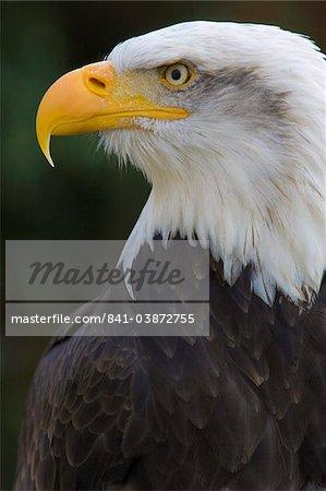 Bald eagle (Haliaeetus leucocephalus) portrait, controlled conditions, United Kingdom, Europe-