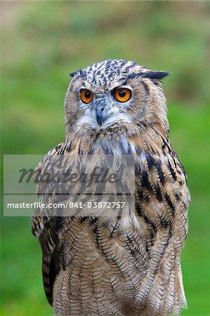 Eurasian eagle owl (Bubo bubo) portrait, Surrey, England, United Kingdom, Europe