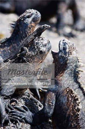 Marine iguanas (Amblyrhynchus cristatus), Isla Isabela, Galapagos Islands, UNESCO World Heritage Site, Ecuador, South America