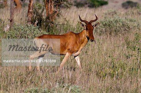 Cokes hartebeest (Alcelaphus buselaphus), Lualenyi Game Reserve, Kenya, East Africa, Africa