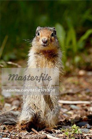 Columbian ground squirrel (Citellus columbianus), Manning Provincial Park, British Columbia, Canada, North America