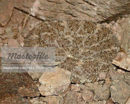 Speckled rattlesnake (Crotalus mitchellii) in captivity, Arizona Sonora Desert Museum, Tucson, Arizona, United States of America, North America