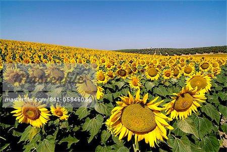 Sunflower field near Cordoba, Andalusia, Spain, Europe