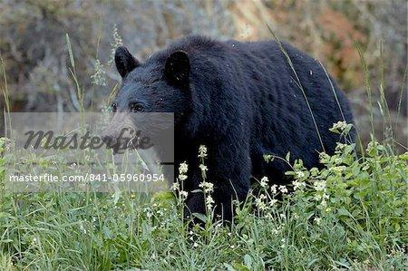 Black bear (Ursus americanus) eating, Glacier National Park, Montana, United States of America, North America