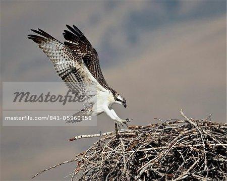 Osprey (Pandion haliaetus) landing on its nest, Lemhi County, Idaho, United States of America, North America