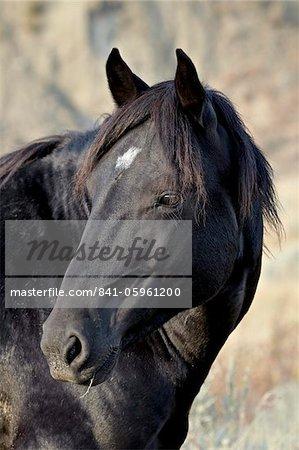 Wild horse (Equus Caballus), Theodore Roosevelt National Park, North Dakota, United States of America, North America