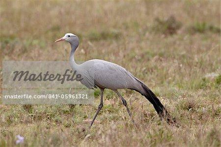 Blue crane (Stanley crane) (paradise crane) (Anthropoides paradiseus), Mountain Zebra National Park, South Africa, Africa