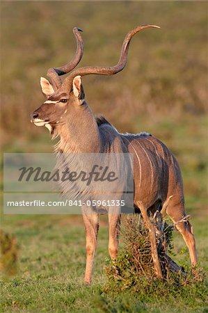 Greater kudu (Tragelaphus strepsiceros) buck marking its territory, Addo Elephant National Park, South Africa, Africa