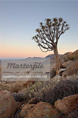Quiver tree (Kokerboom) (Aloe dichotoma) at dawn, Namakwa, Namaqualand, South Africa, Africa