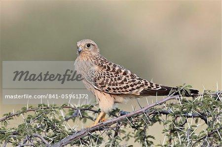 Immature greater kestrel (white-eyed kestrel) (Falco rupicoloides), Kgalagadi Transfrontier Park, encompassing the former Kalahari Gemsbok National Park, South Africa, Africa