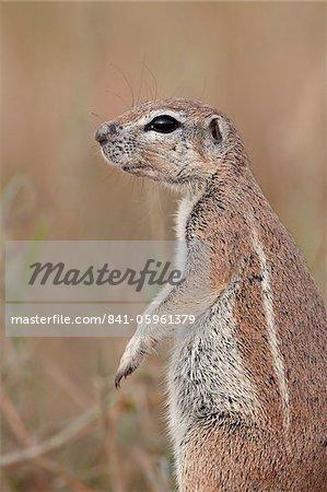 Cape ground squirrel (Xerus inauris), Kgalagadi Transfrontier Park, encompassing the former Kalahari Gemsbok National Park, South Africa, Africa