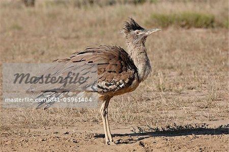 Kori bustard (Ardeotis kori) dust bathing, Kgalagadi Transfrontier Park, encompassing the former Kalahari Gemsbok National Park, South Africa, Africa