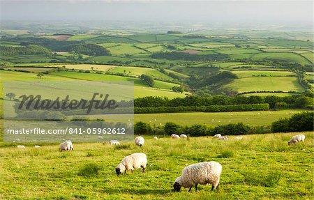 Sheep grazing in Exmoor National Park, Devon, England, United Kingdom, Europe