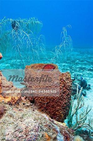 Coney (Cephalopholis fulva), in a barrel sponge, St. Lucia, West Indies, Caribbean, Central America