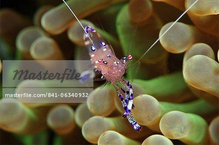 Anemone shrimp (Periclimenes holtuisi), Philippines, Southeast Asia, Asia