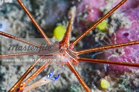 Yellowline arrow crab (Stenorhynchus seticornis), St. Lucia, West Indies, Caribbean, Central America
