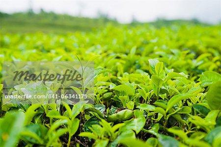 Tea leaf close up in a tea plantation near Bandung, Java, Indonesia, Southeast Asia, Asia