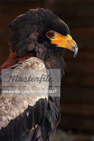 Bateleur (Terathopius ecaudatus) is a medium-sized eagle in the bird family Accipitridae, resident in Sub-Saharan Africa, in captivity in the United Kingdom, Europe
