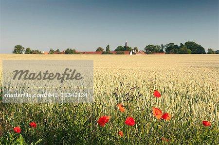 Common poppy (papaver rhoeas) on edge of wheat field and Ctenice Castle, Ctenice, Stredocesko, Czech Republic, Europe