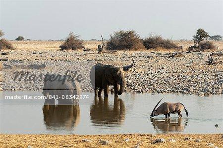 African elephant (Loxodonta africana), Etosha National Park, Namibia, Africa