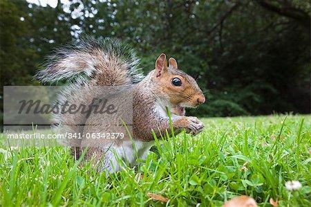 Grey squirrel (Sciurus carolinensis), in city park, Brandon Park, Bristol, England, United Kingdom, Europe