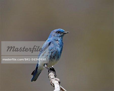Male mountain bluebird (Sialia currucoides), Yellowstone National Park, Wyoming, United States of America, North America