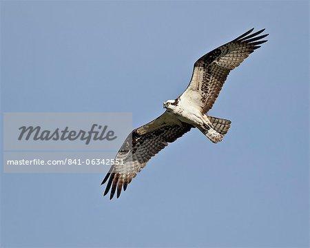 Osprey (Pandion haliaetus) in flight, Lemhi County, Idaho, United States of America, North America