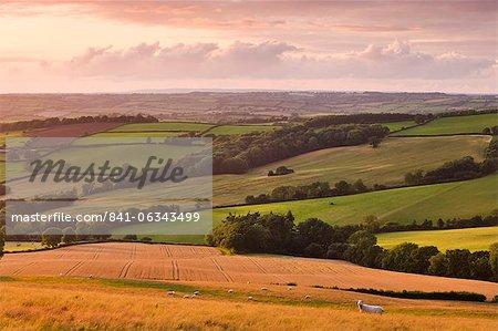 Grazing sheep and crop fields near Stockleigh Pomeroy, mid Devon, England, United Kingdom, Europe