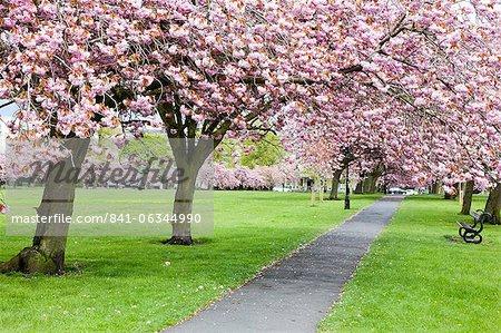 Cherry blossom on The Stray in spring, Harrogate, North Yorkshire, Yorkshire, England, United Kingdom, Europe